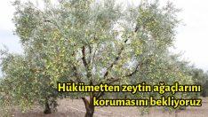 Hükümetten zeytin ağaçlarını korumasını bekliyoruz