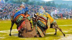 Torbalı'da deve güreşleri için geri sayım başladı
