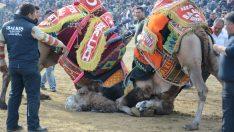 Pehlivan develer Torbalı'da 12.kez güreşti