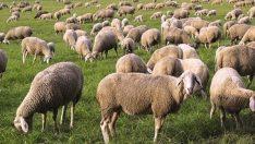 Çiftçi yine hayal kırıklığına uğradı! 500 bin koyun dağıtacağız sözünü verdiler, 87 bin koyun dağıtabildiler