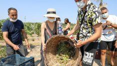5 ülkeden 21 genç Buca'da üzüm hasat etti